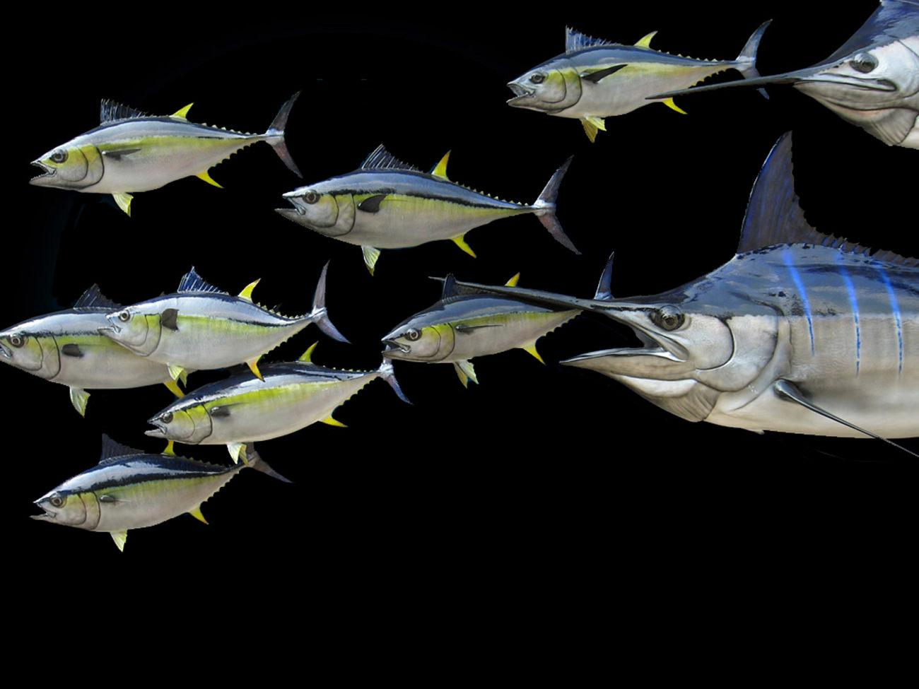 Yellow Fin Tuna and Blue Marlin