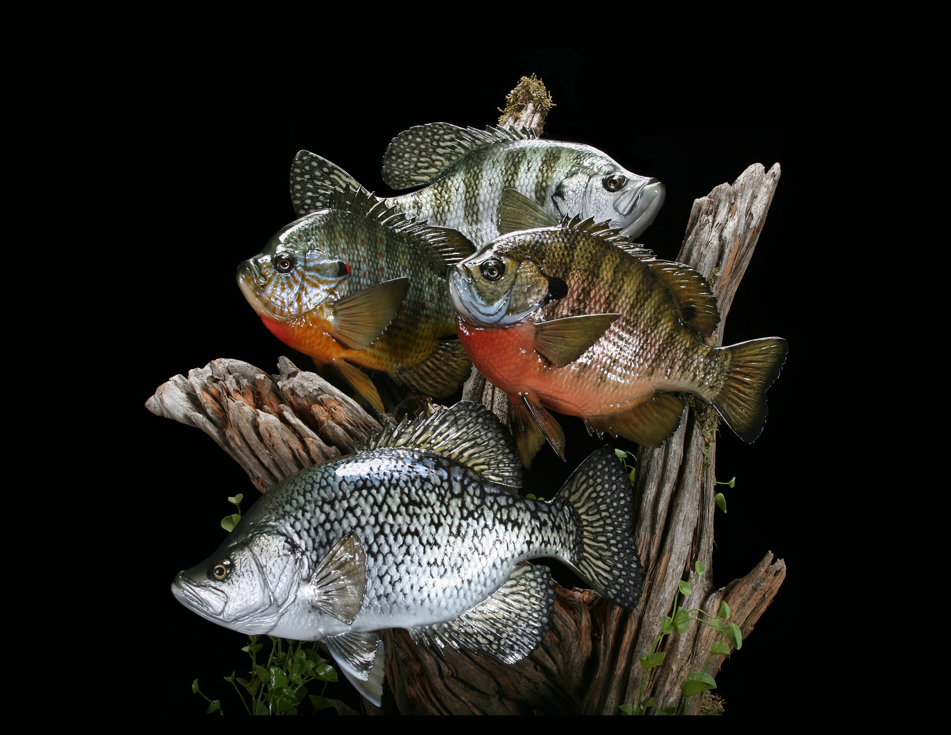 Bluegill, Pumpkinseed Sunfish and Black Crappie