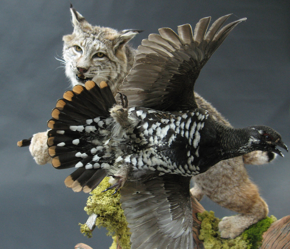 Lynx and Spruce Grouse