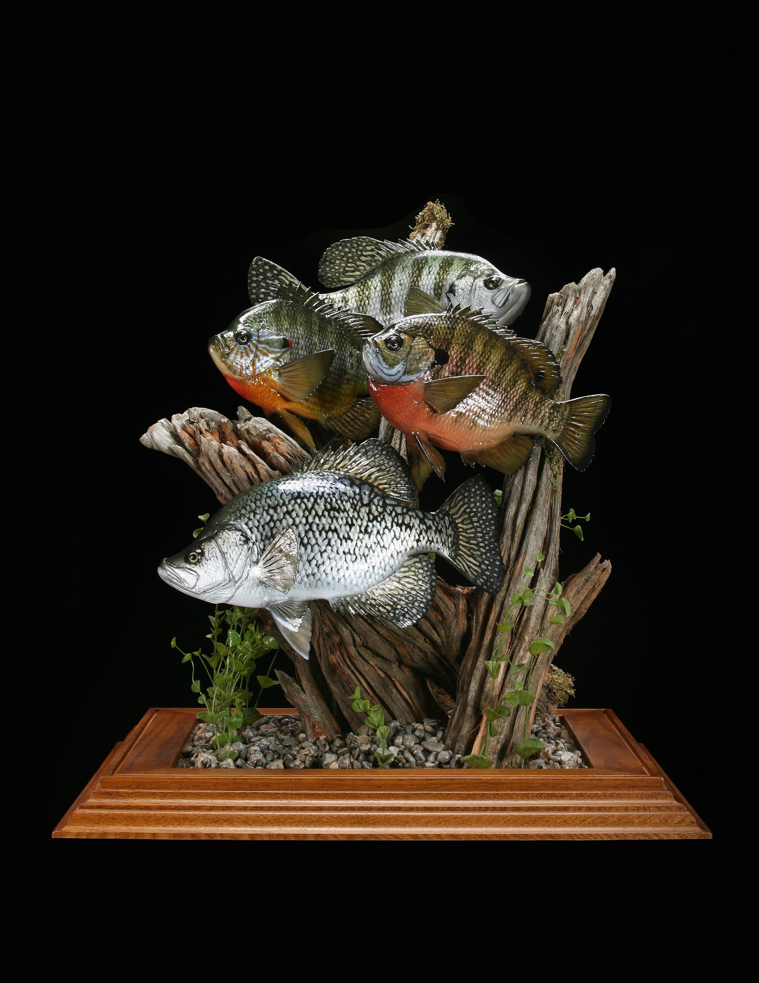 Pumpkinseed Sunfish, Blugill, Black Crappie