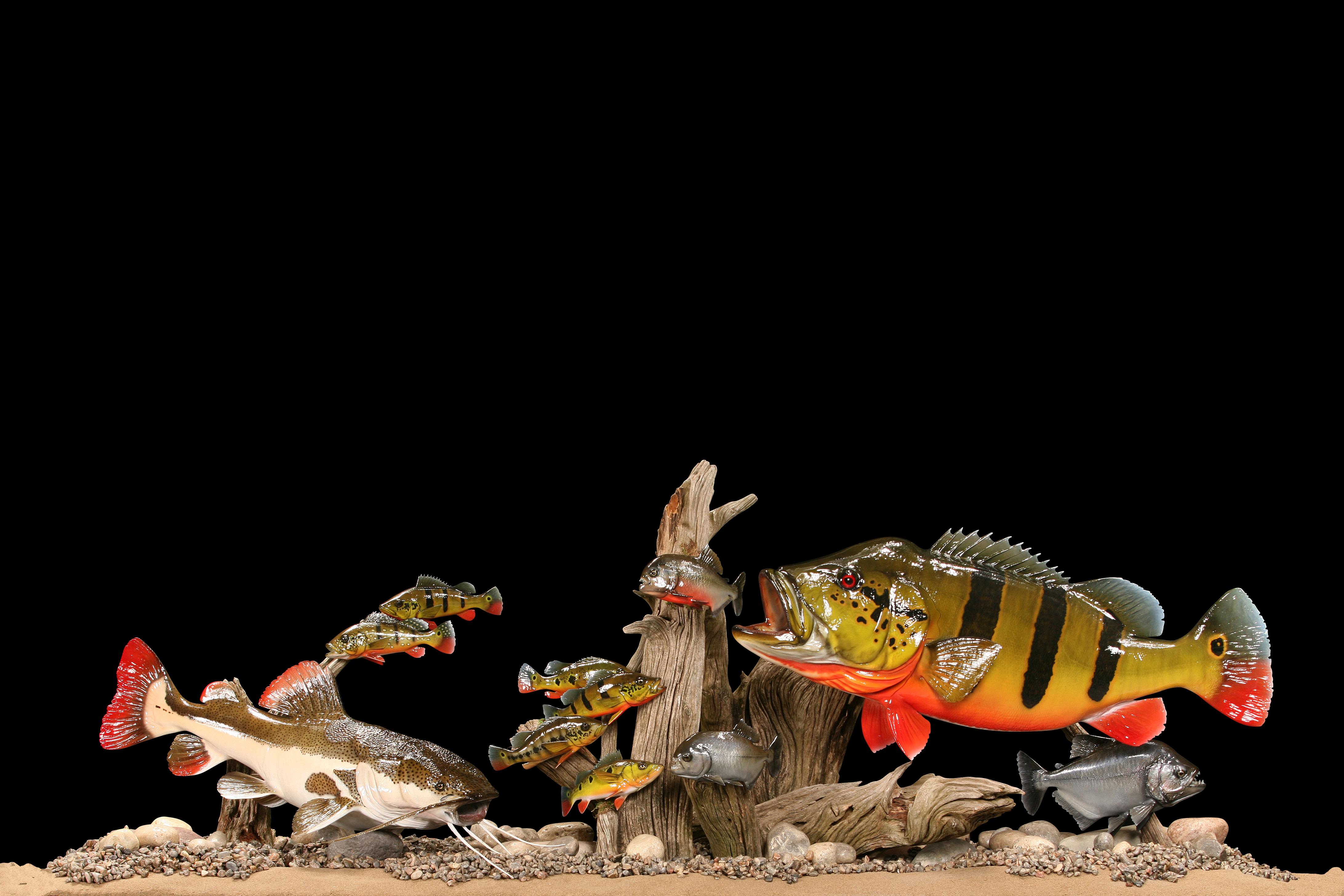 Peacock Bass, Piranha, Redtail Catfish