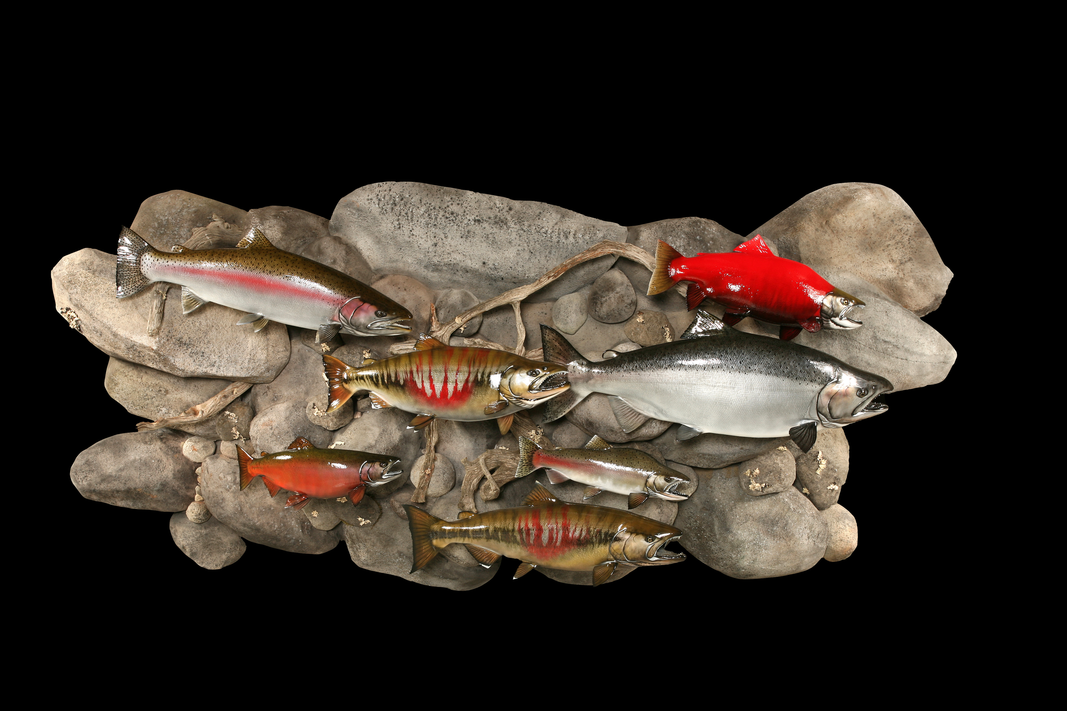 Chinook, Coho, Chum, Pink, Sockeye, and Steelhead Salmon