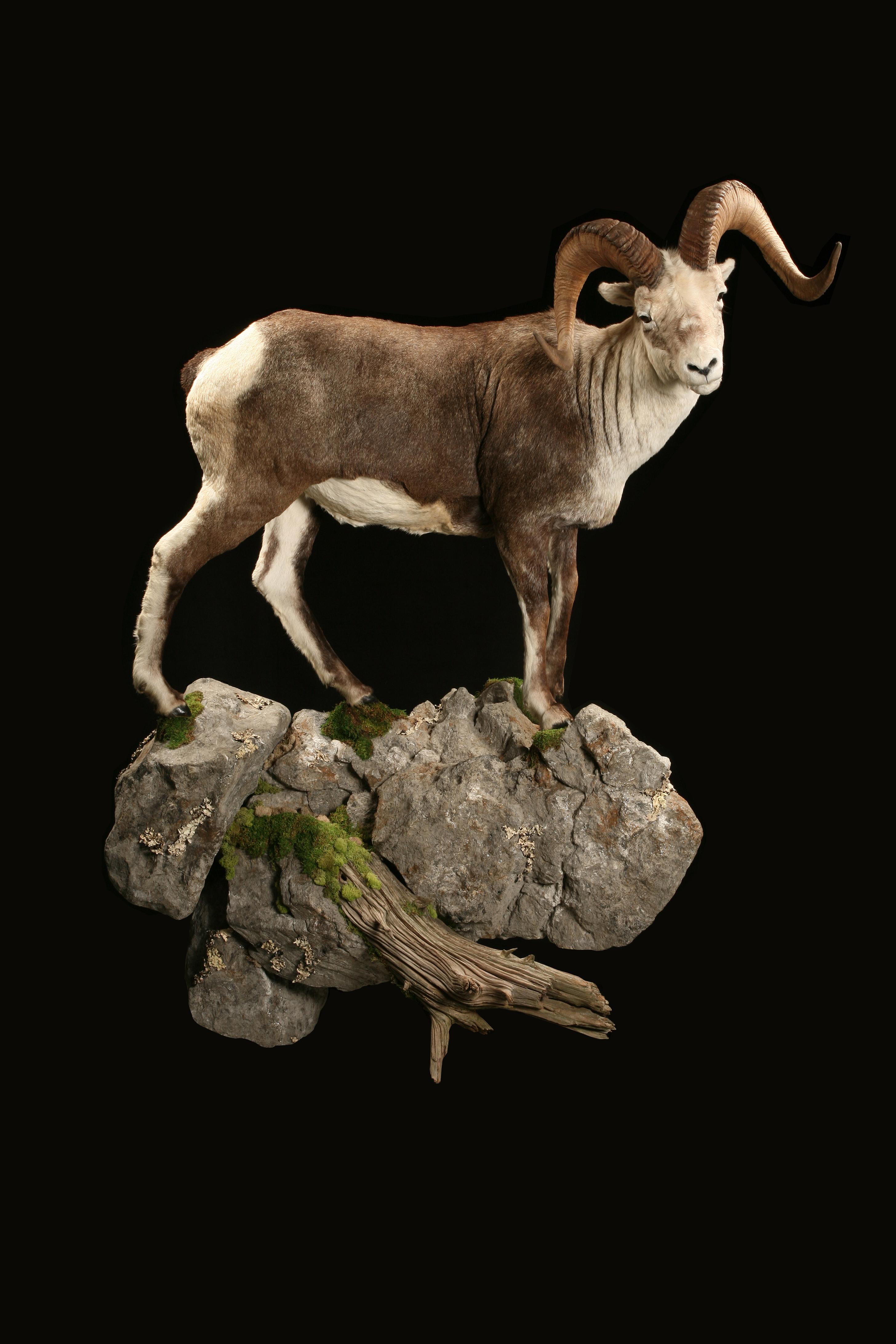 Stone Sheep