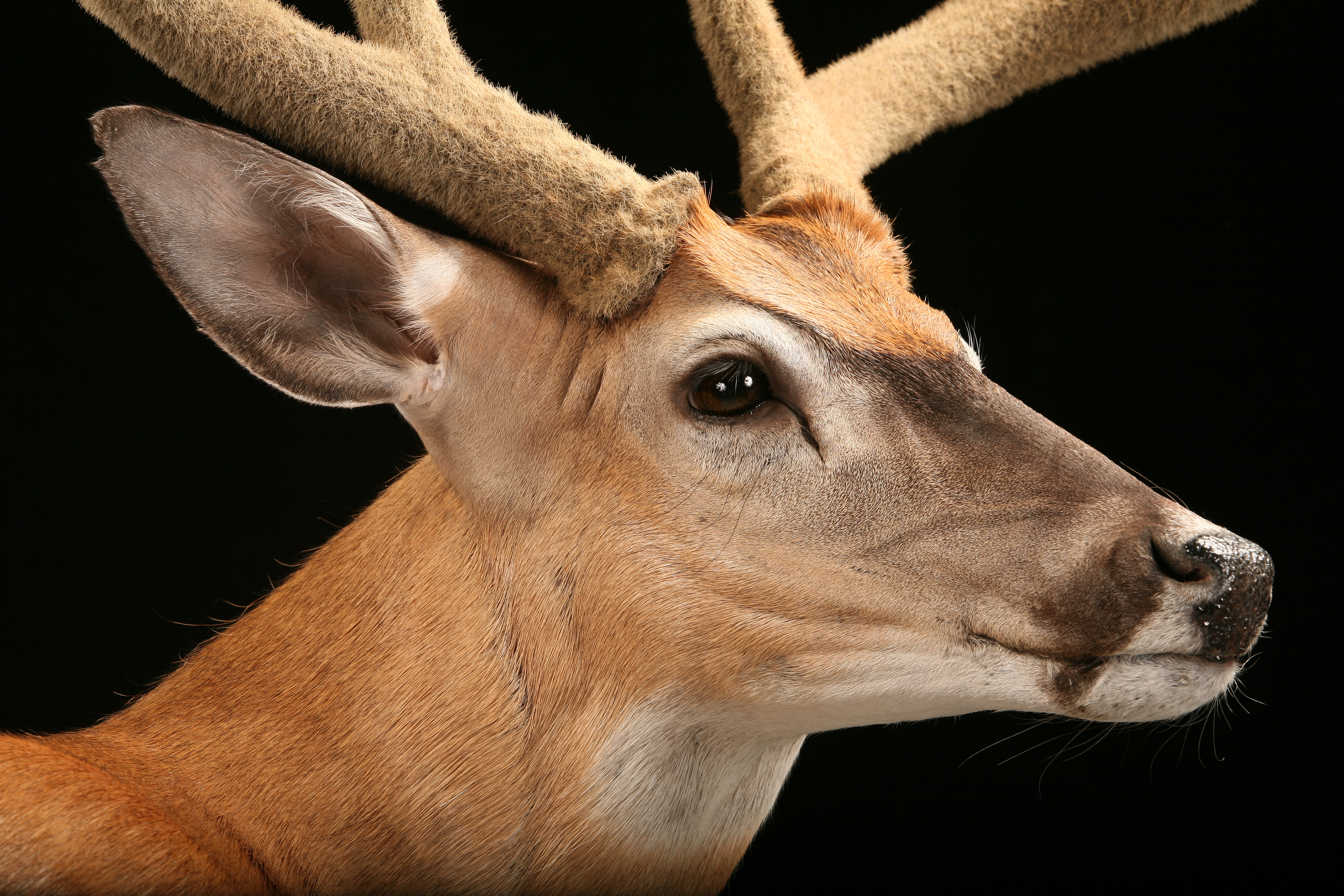Whitetail Deer